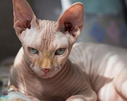 kattenverzekring