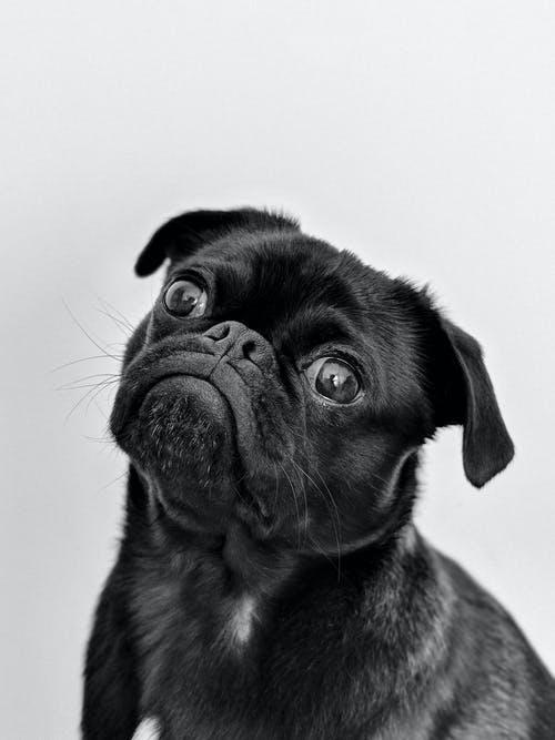 Fanse bulldog puppy kopen